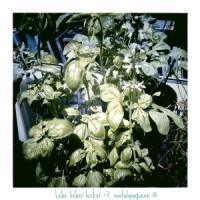 Quick-Rezept: Basilikumpesto mit Mandeln und Rosinen